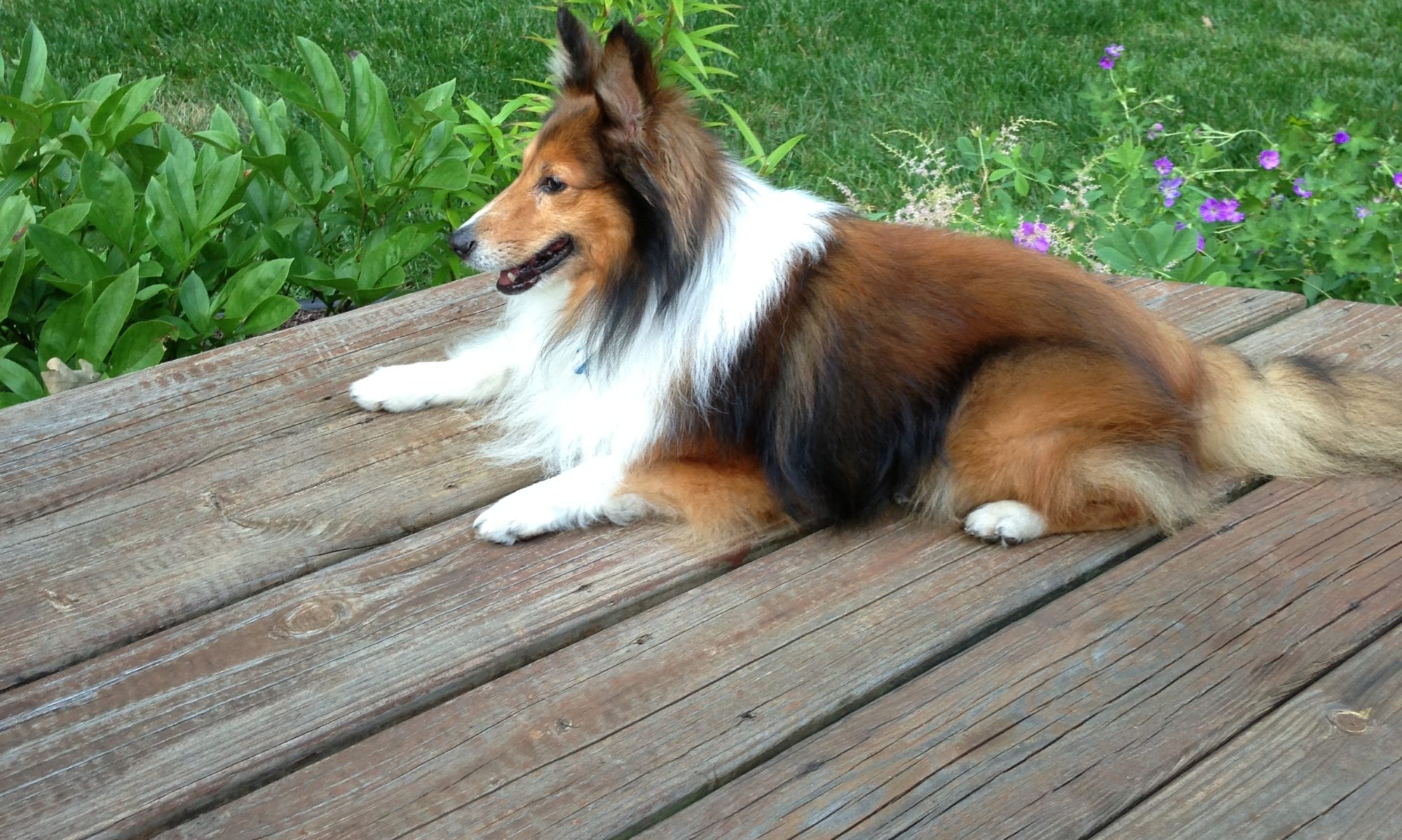 Indiana Sheltie Rescue