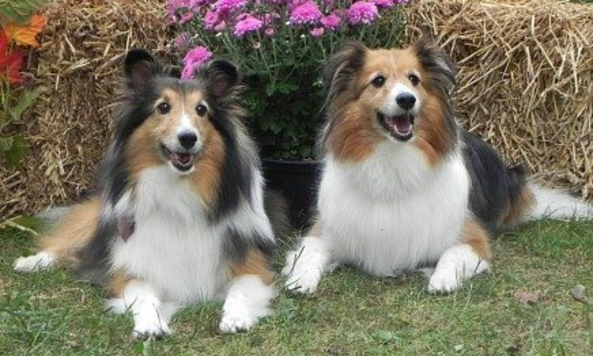 indiana sheltie rescue inc 628 shelties rescued since april 1999